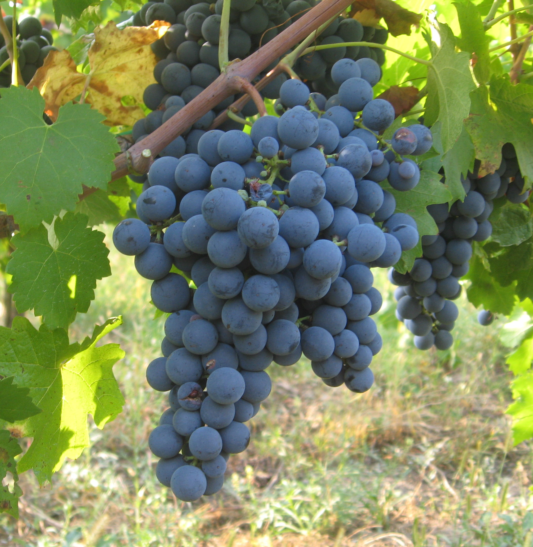 carmenere grapes from Chile