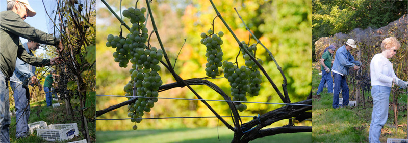 2011 Harvest at Hermit Woods Winery