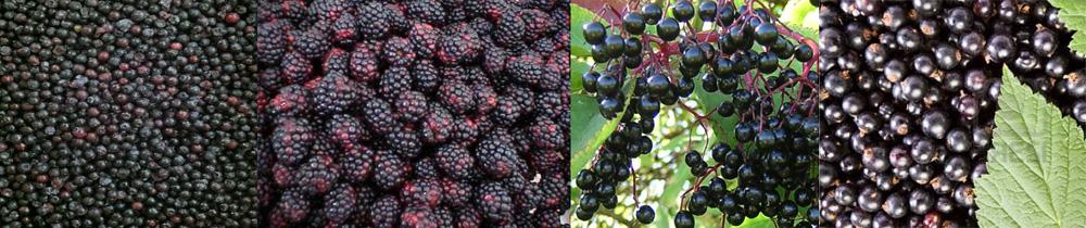 blueberries_blackberries_elderberries_black_currants