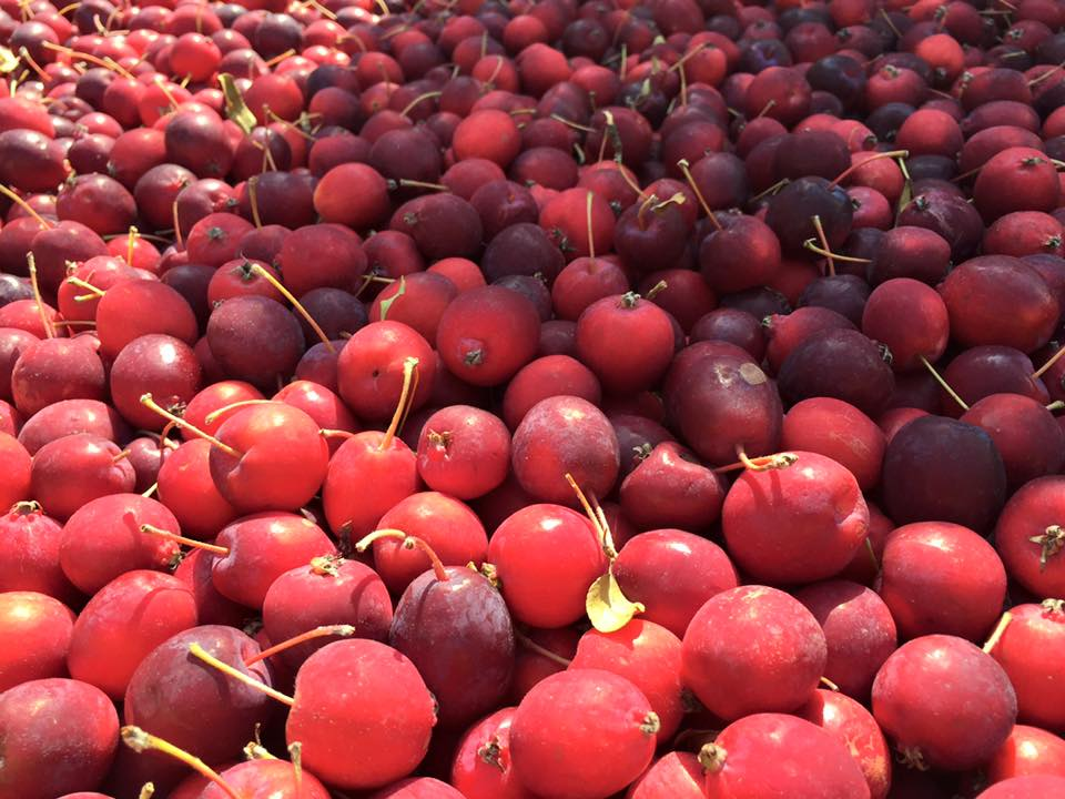 Fresh Dolgo Crabapples from Scott Farm in Vermont